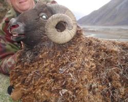 Track n Trail Safaris-New Zealand-ram goat (43)