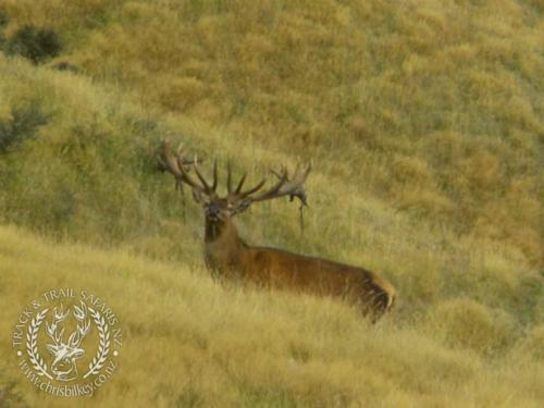 Track n Trail Safaris-New Zealand-red stag (37)