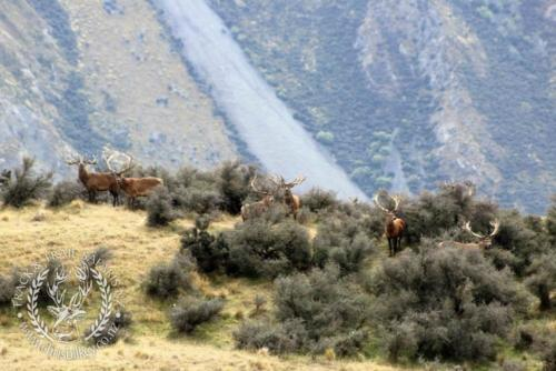 Track n Trail Safaris-New Zealand-red stag (5)