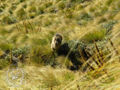 Track n Trail Safaris-New Zealand-Tahr (20) (1)