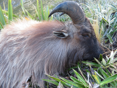 Track n Trail Safaris-New Zealand-Tahr (6) (1)